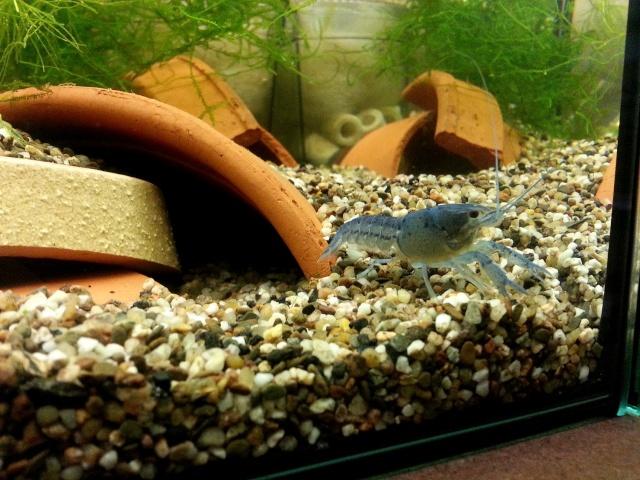 ma pièce à poissons,crevettes et écrevisses. 20140323