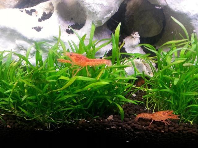 ma pièce à poissons,crevettes et écrevisses. 20140416
