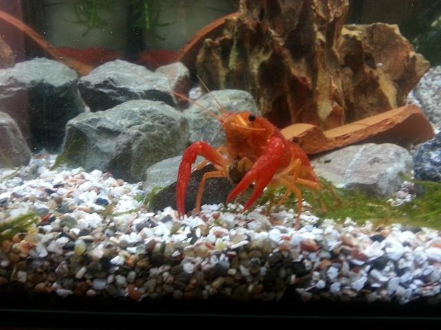 ma pièce à poissons,crevettes et écrevisses. 20140417