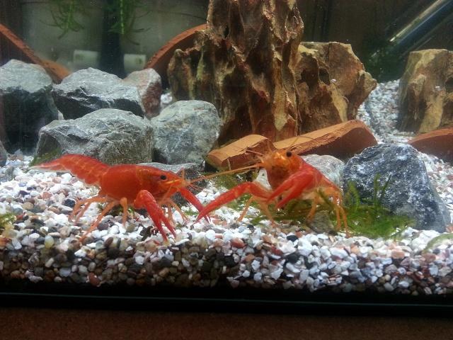 ma pièce à poissons,crevettes et écrevisses. 20140418