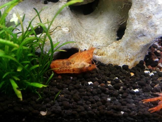 ma pièce à poissons,crevettes et écrevisses. 20140512
