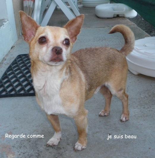 """Jerry superbe petit chien ratier couleur """"bleue"""" (rare) cherche des adoptants(75)  0771_j11"""