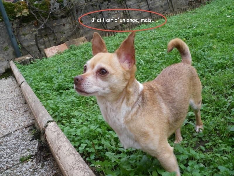 """Jerry superbe petit chien ratier couleur """"bleue"""" (rare) cherche des adoptants(75)  Imgp0713"""
