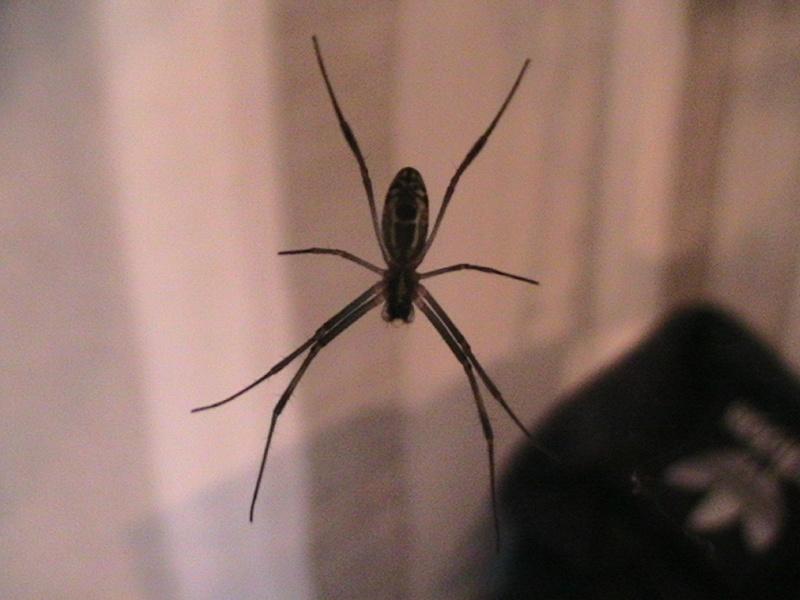 [Fiche] Nephila inaurata Pic_3220