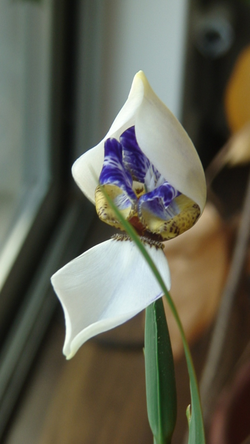Colle botanique identification plante tropicale : Neomarica Dsc00010