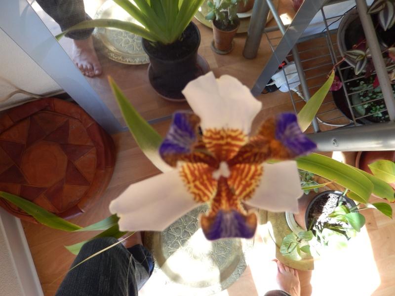 Colle botanique identification plante tropicale : Neomarica Dscn0210