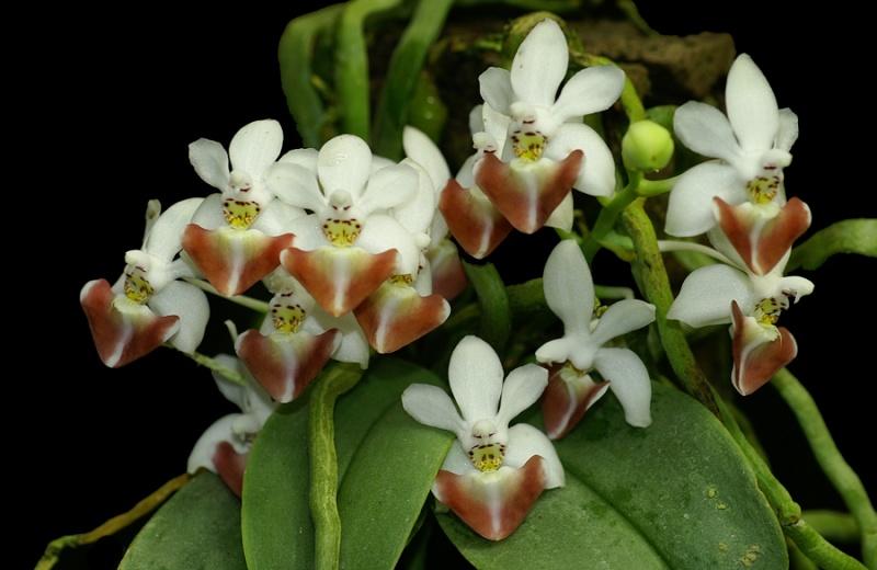 Phalaenopsis parishii x lobbii Phalae10