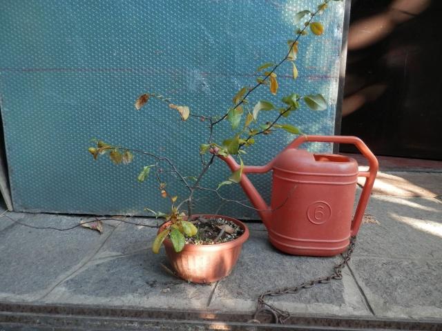 Chaenomeles - info coltivazione C310