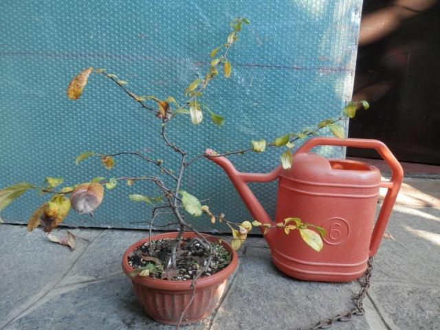 Chaenomeles - info coltivazione C410