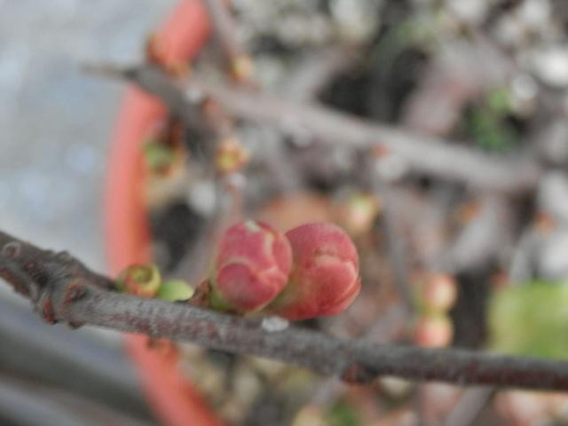 Chaenomeles - info coltivazione C710