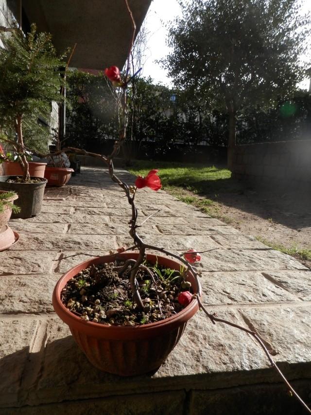 Chaenomeles - info coltivazione Fiore_10