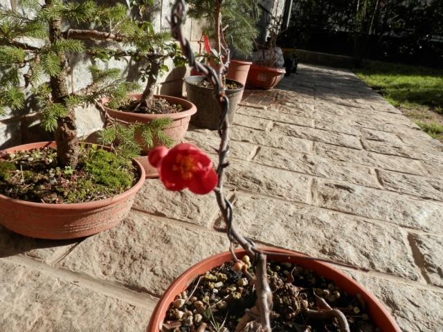 Chaenomeles - info coltivazione Fiore_13