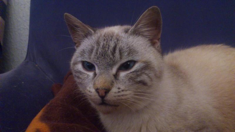 Adoptée, Nala, chaton femelle de 6 mois IE 250268711035666 Dsc_0011