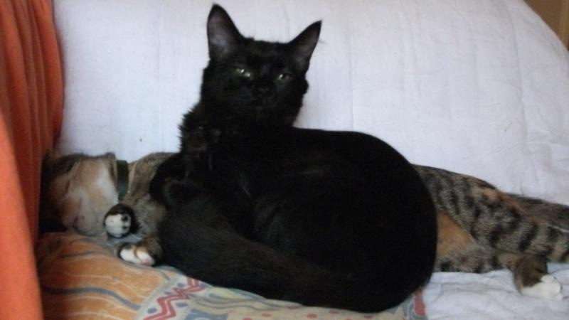 Adoptée, Myrtille, chaton femelle noire  Dscf6210
