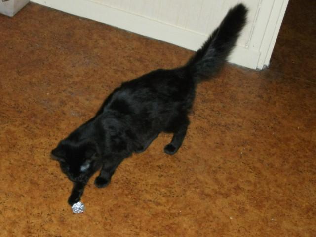 Adoptée, Myrtille, chaton femelle noire  Dscf6211