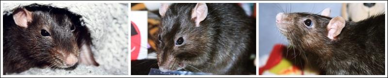Les Hoop & Rats Catjhj10