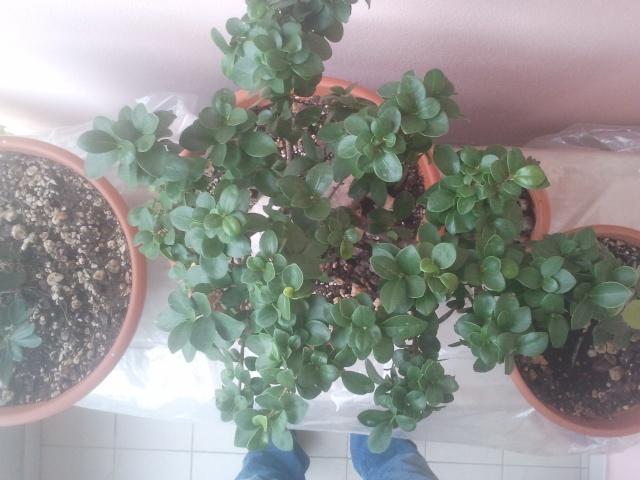 Ficus (credo) ginseng allo stato brado o quasi..... - Pagina 2 2013-111