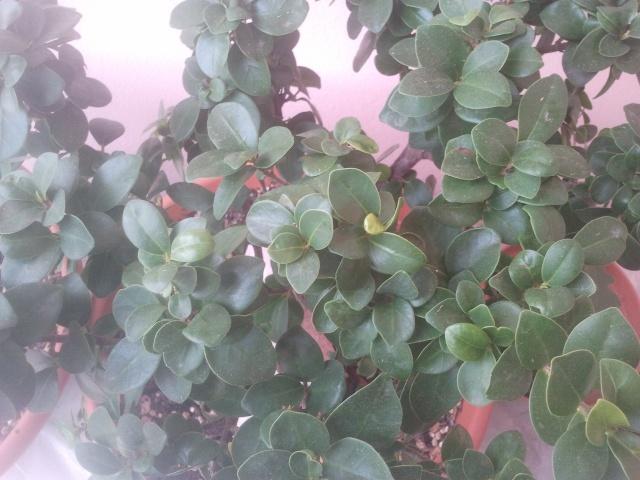 Ficus (credo) ginseng allo stato brado o quasi..... - Pagina 2 2013-112