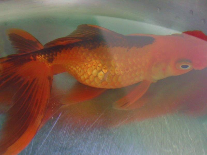 Poisson pompon avec grosse bosse au ventre ( urgent ) Bild0511