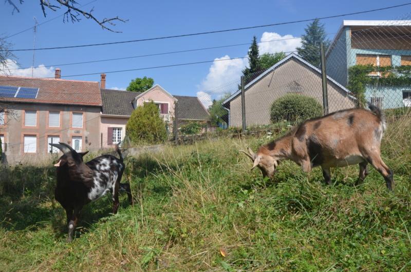 Une jolie occasion d'agrandir (encore!) le troupeau!  Dsc_0914