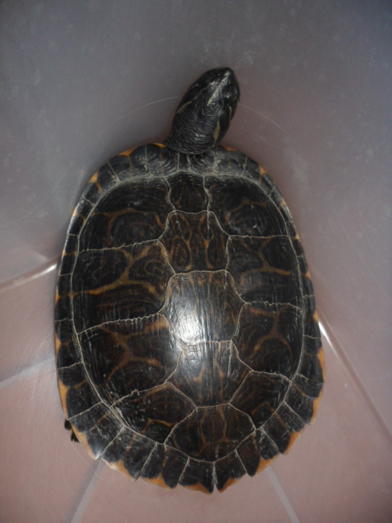 Identification tortue trouvée cet après-midi Sam_6527