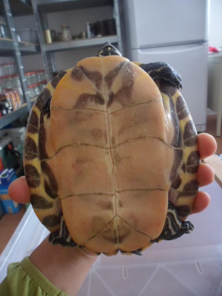 Identification tortue trouvée cet après-midi Sam_6528