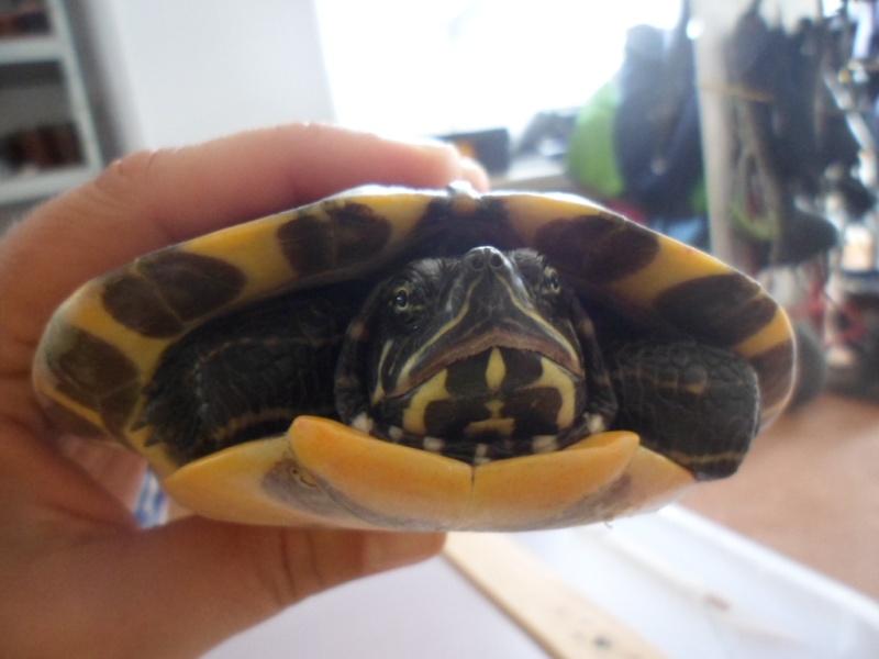 Identification tortue trouvée cet après-midi Sam_6531