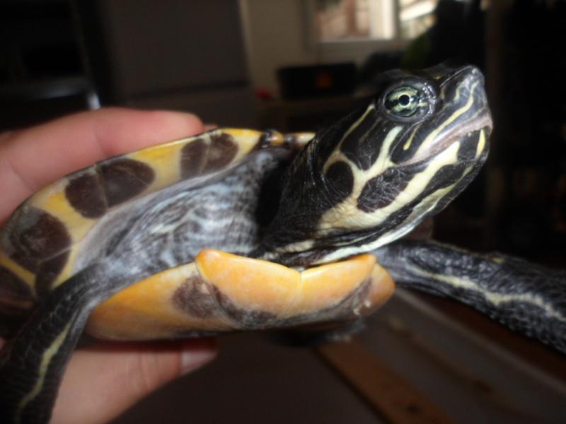 Identification tortue trouvée cet après-midi Sam_6532