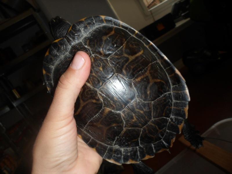 Identification tortue trouvée cet après-midi Sam_6533