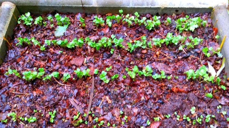 Semer dans le mulch 1112