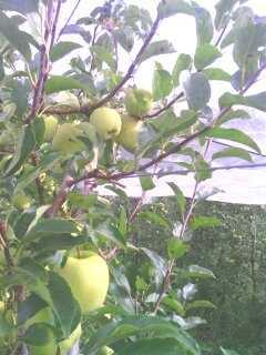 Ramasser ses pommes au verger. 13809612