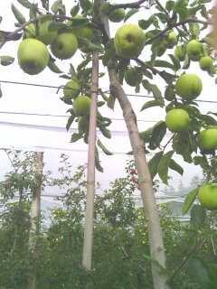 Ramasser ses pommes au verger. 13809614