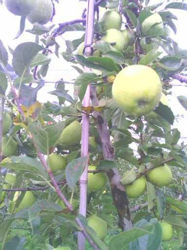 Ramasser ses pommes au verger. 13809615