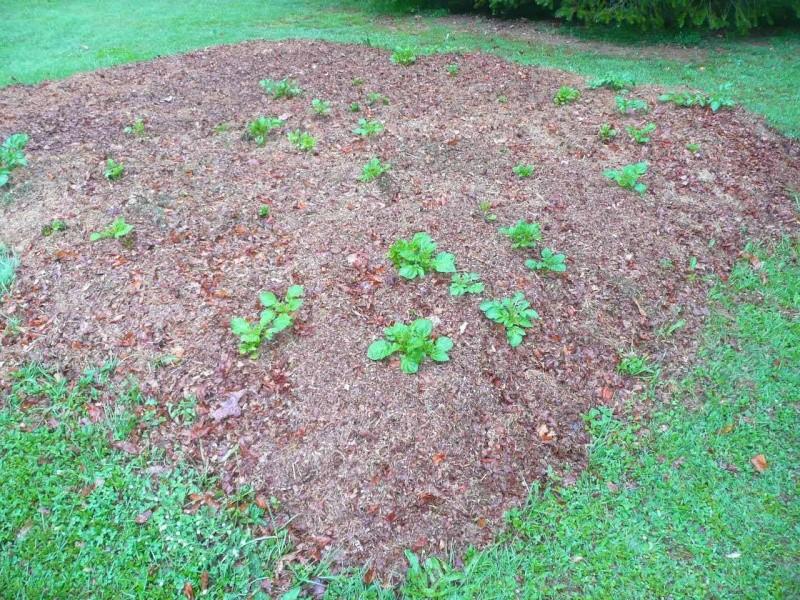Des petites pommes de terre P1340512