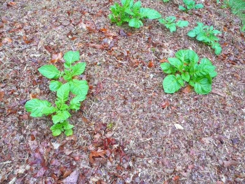 Des petites pommes de terre P1340513
