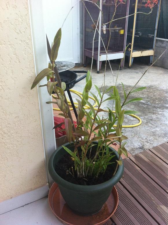 Orchidée dont les feuiles tournent au marron Orchid10