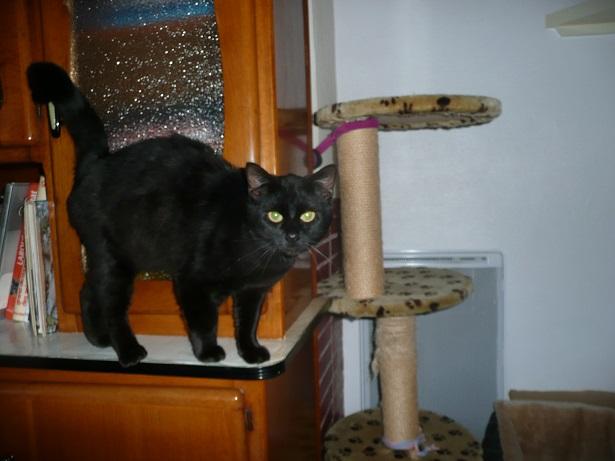 Minuit chat noir Mai 2012 FIV+ (ADPK 35) P1150413