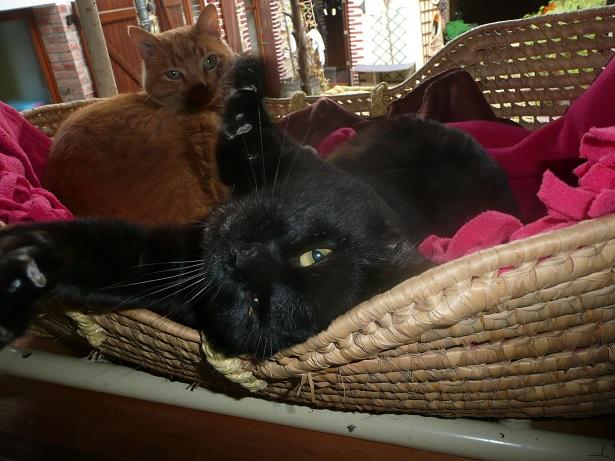 Minuit chat noir Mai 2012 FIV+ (ADPK 35) P1150611