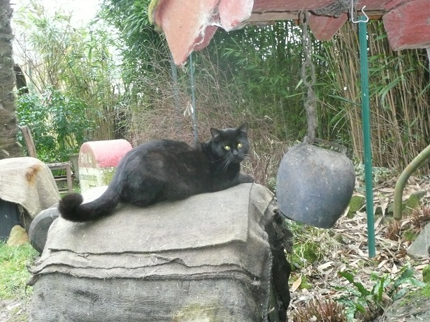 Minuit chat noir Mai 2012 FIV+ (ADPK 35) P1160311