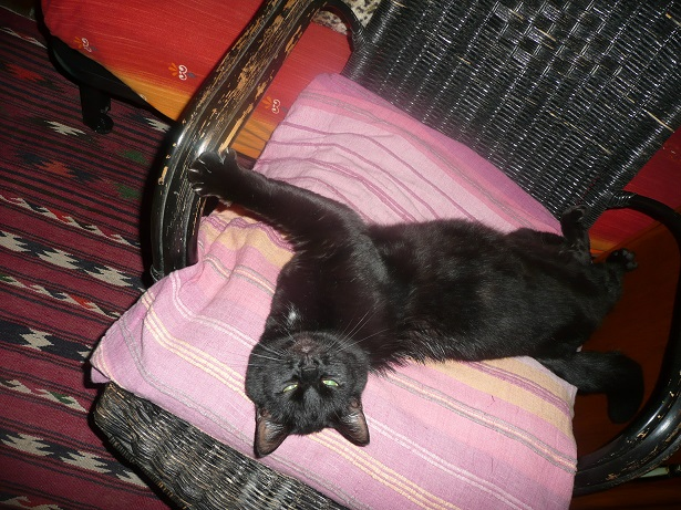 Minuit chat noir Mai 2012 FIV+ (ADPK 35) P1160513
