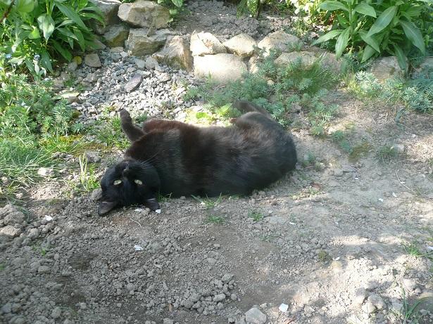 Minuit chat noir Mai 2012 FIV+ (ADPK 35) P1180110