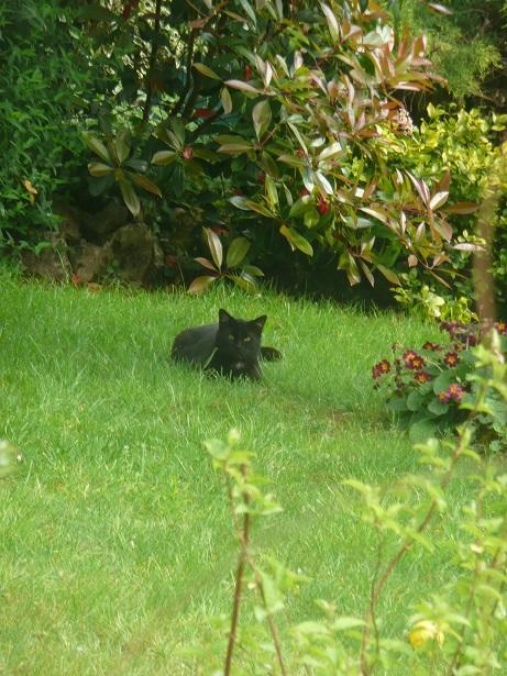 Minuit chat noir Mai 2012 FIV+ (ADPK 35) P1180210