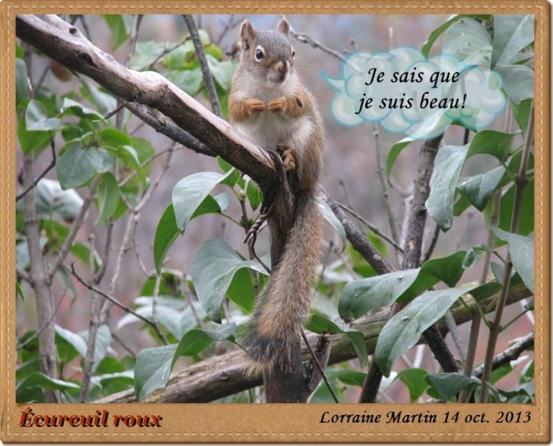 Écureuil roux heureux Acureu14