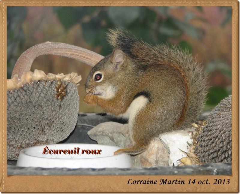 Écureuil roux heureux Acureu15
