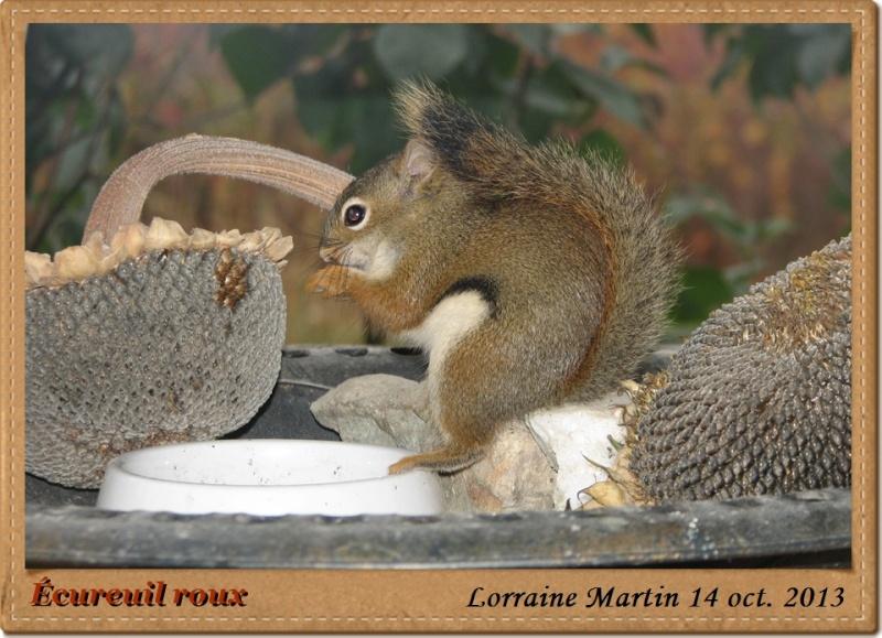 Écureuil roux heureux Acureu16