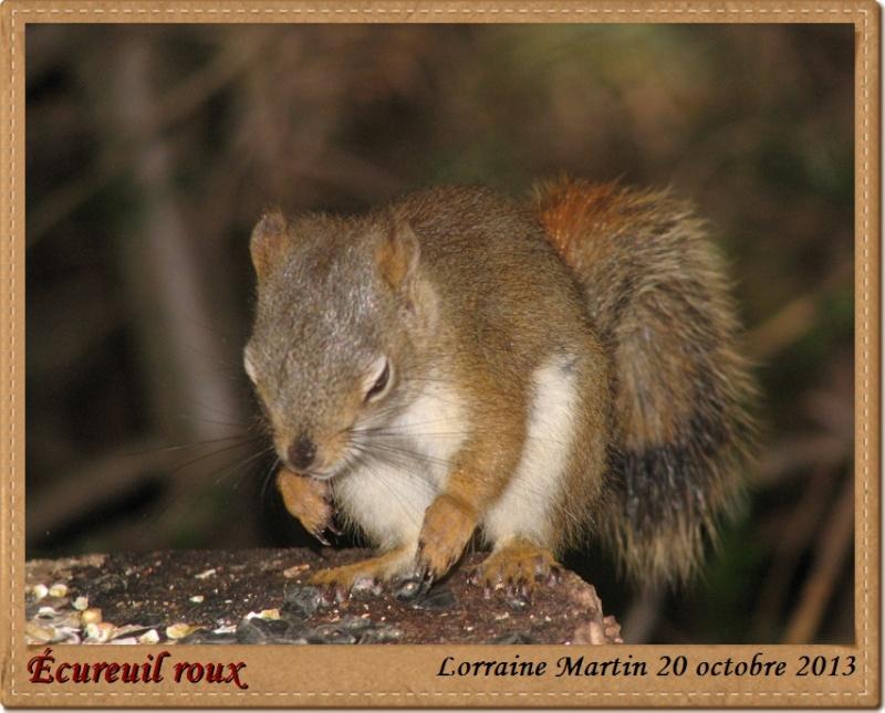 Écureuil roux bon client Acureu20