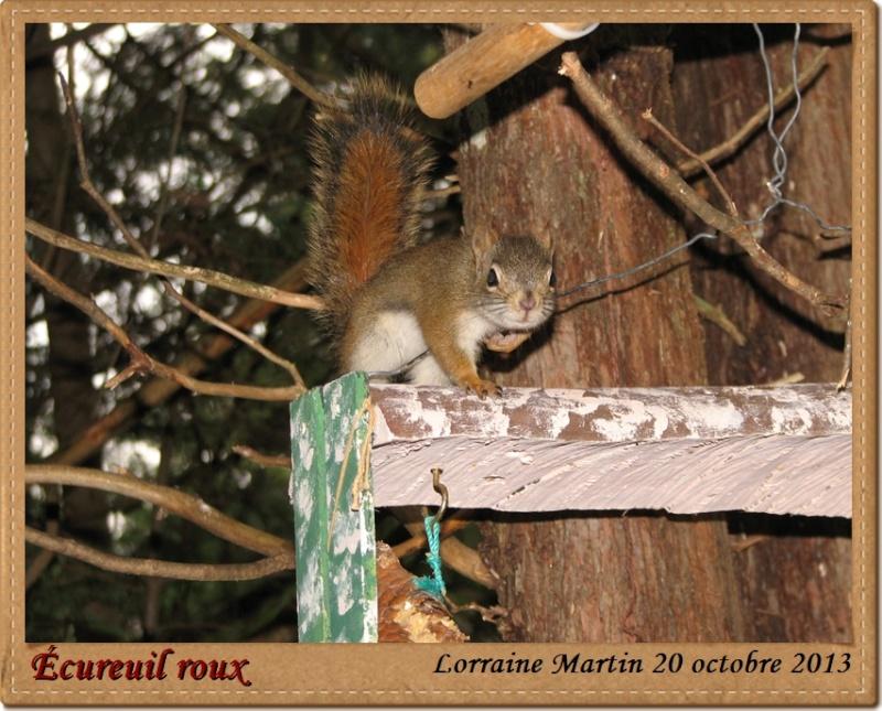 Écureuil roux bon client Acureu21