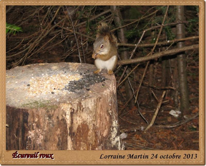 Écureuil roux  Acureu22