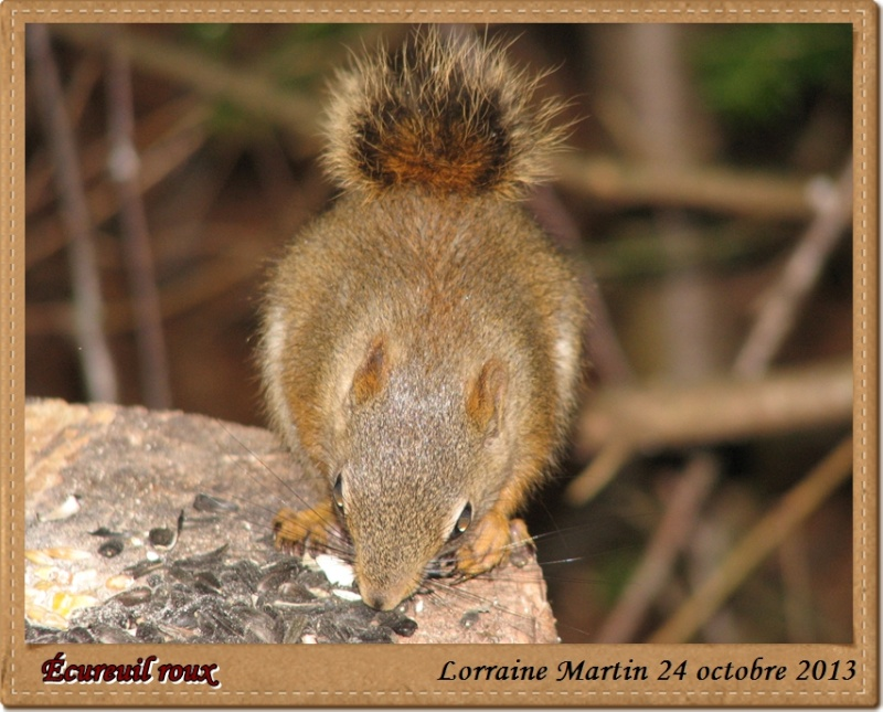 Écureuil roux  Acureu24