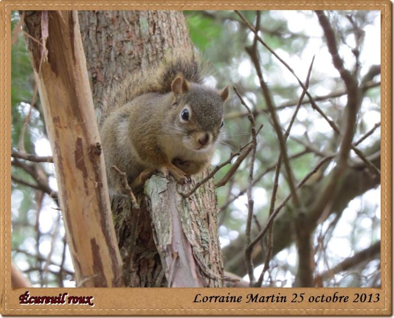 Écureuil roux du jour Canon Acureu25